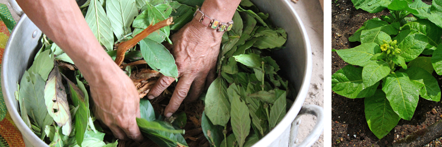 discovery of ayahuasca